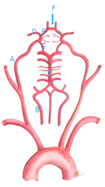 circle of willis image