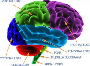The cerebellum is featured in red in this image. Image credit: www.brainhealthandgames.com